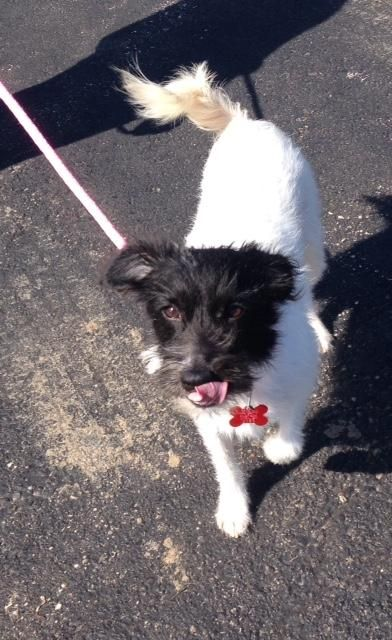 Adopt Cosmo On Terrier Mix Dogs Adoption Terrier