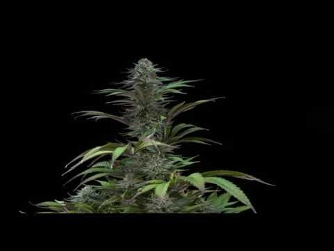 Dinafem Video: Kush-N-Cheese, An Explosive Mixture of Flavours