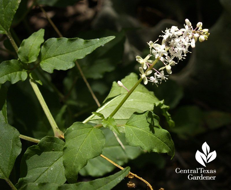 Native Pigeonberry Rivina Humilis Flowers A Noninvasive Groundcover Central Texas Gardener