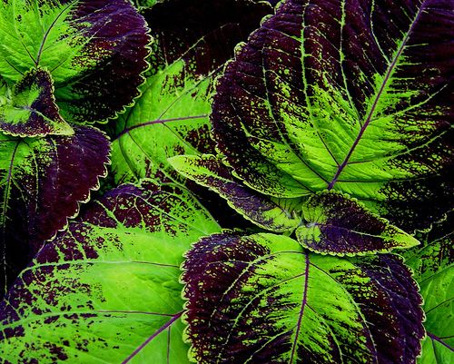 Shady Container Gardening Plants: Fishnet Stockings Coleus  - magenta veining against a lime backdrop.