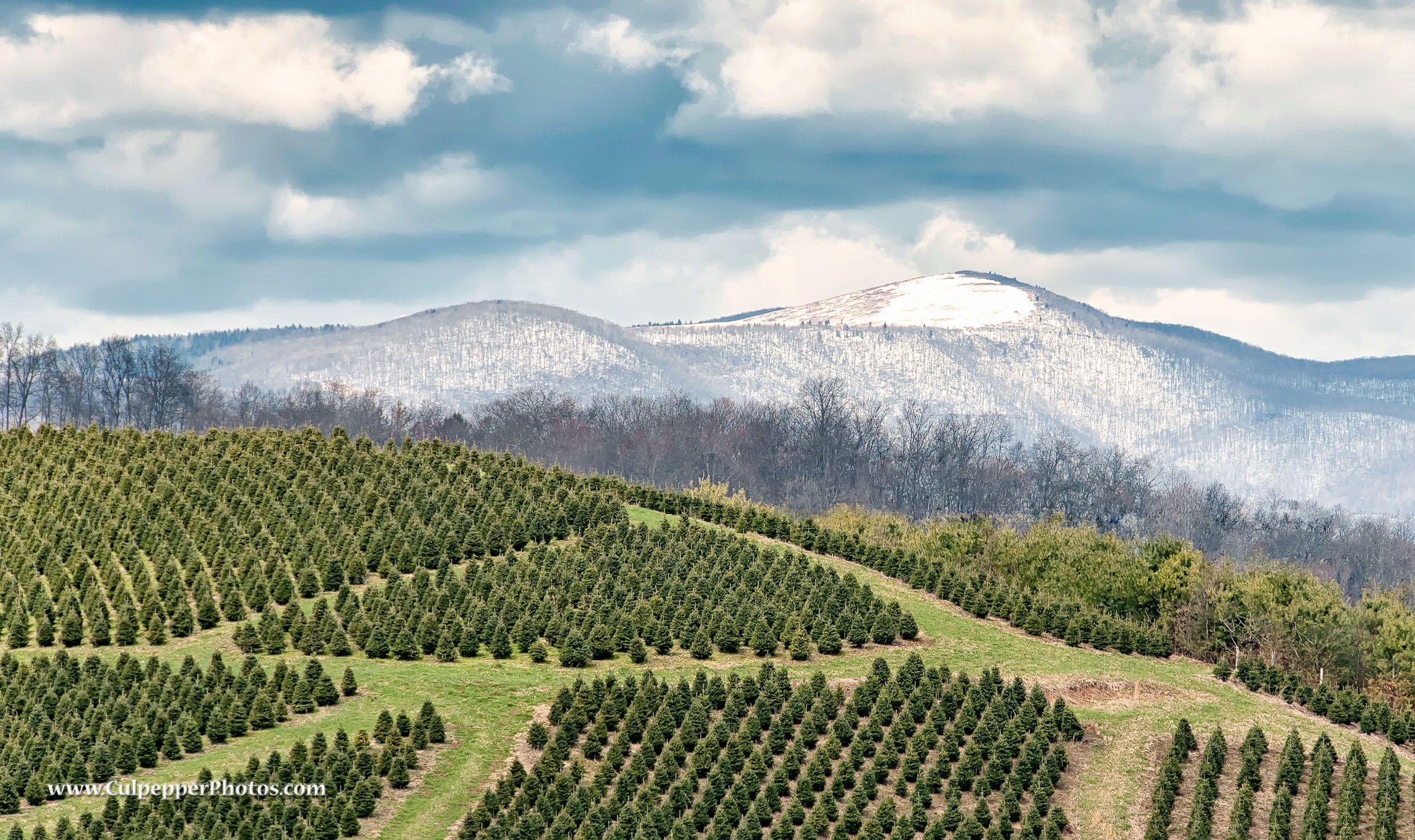 A Christmas Tree farm on highway 421 near Wilkesboro North