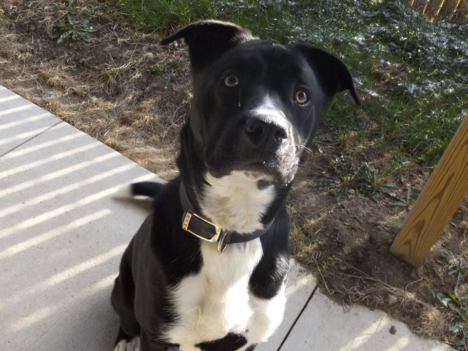 Tippy Lab Mix Rescue Or Forever Home Needed Seneca County Dog Warden Tiffin Ohio Tippy Is A Male Lab Mix He Was Animal Rescue Furry Friend Animals