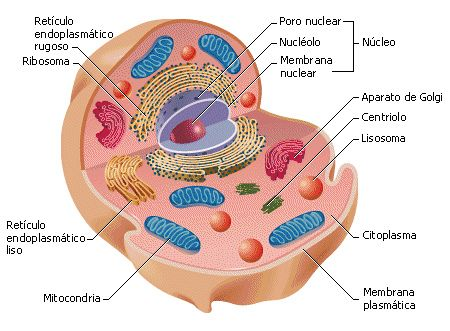 Celula Animal Animal Cell Cell Model Plant And Animal Cells