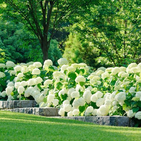 Breathtaking annabelle hydrangea hedge flower envy for Amenagement jardin 74