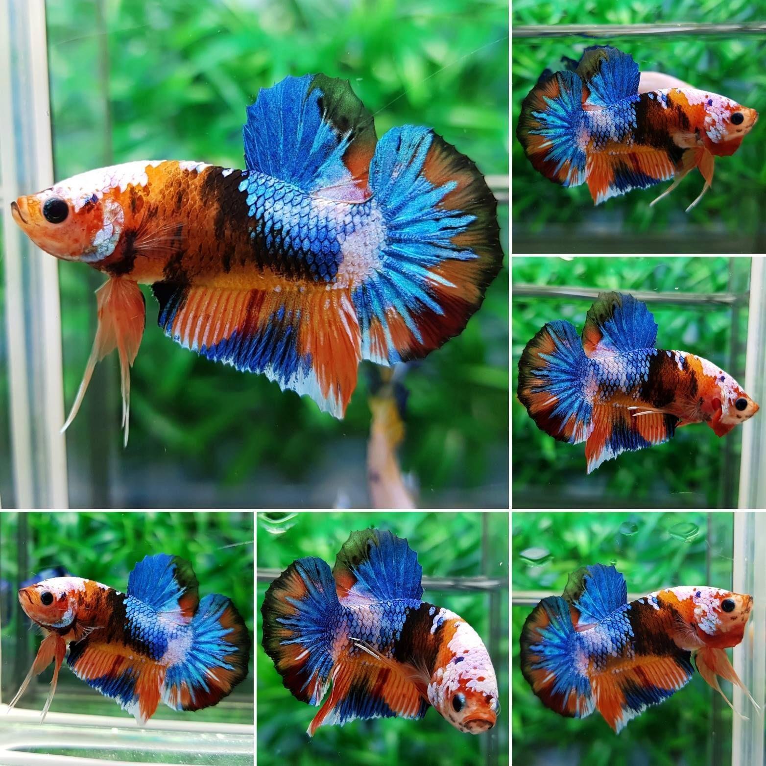 Imported HMPK Fancy Koi Betta Fish MALE AMAZING COLOR | Common ...