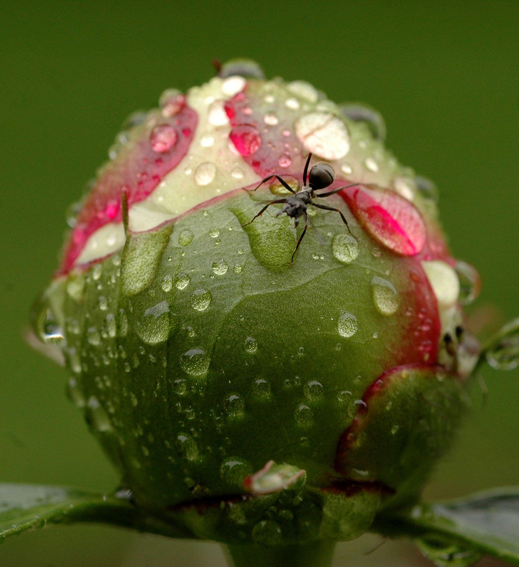 relationship between ants and peonies