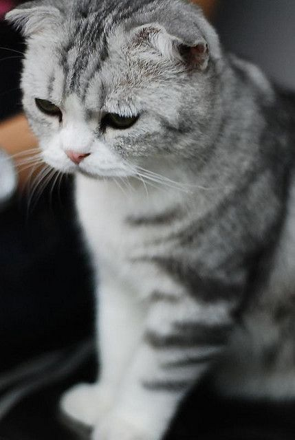 Scottish Fold Cute Cats Baby Cats Beautiful Cats