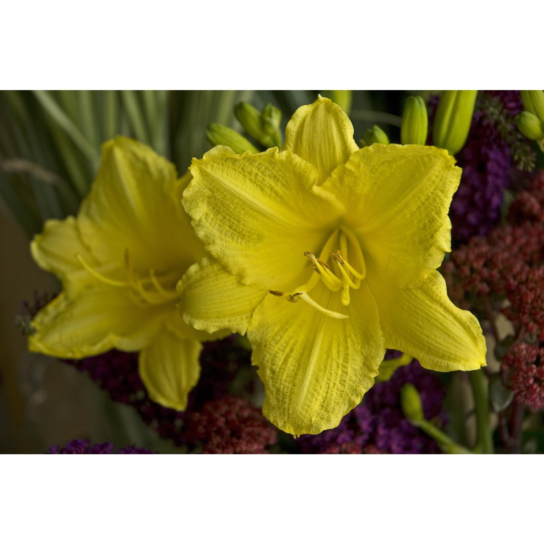 Daylily Gilbert H Wild Son Yellow Perennials Day Lilies Best Perennials