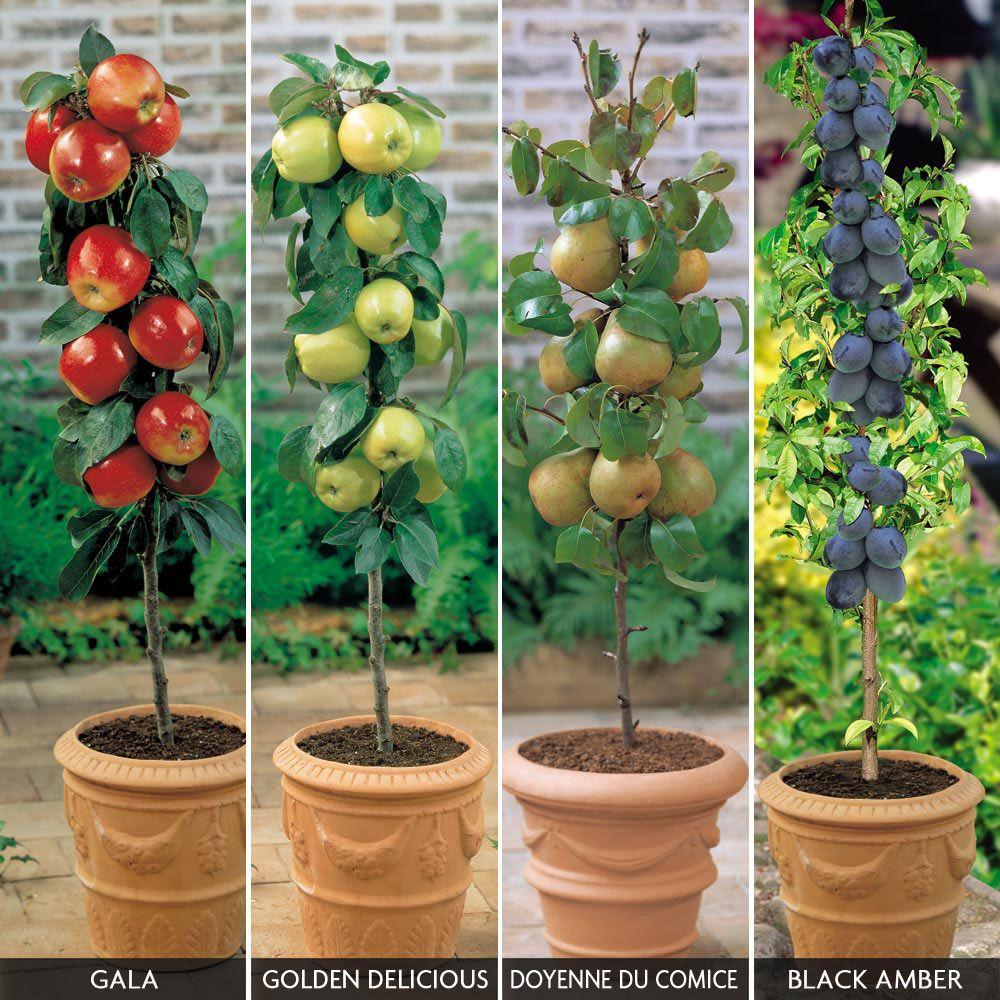 Patio Fruit Tree Collection   Apple Trees U0026 Pear Trees   Van Meuwen