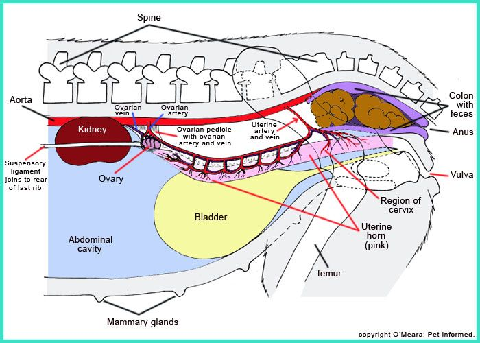 This diagram can help educate someone on part of a dogs anatomy this diagram can help educate someone on part of a dogs anatomy it could even ccuart Gallery