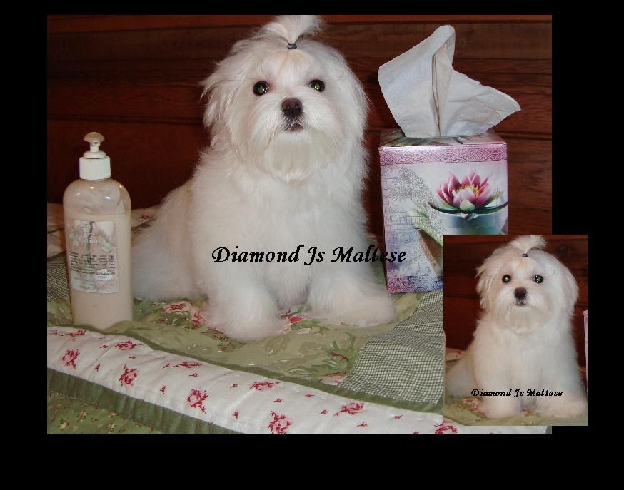 Maltese Puppies For Sale Maltese Breeder Diamond J S Maltese