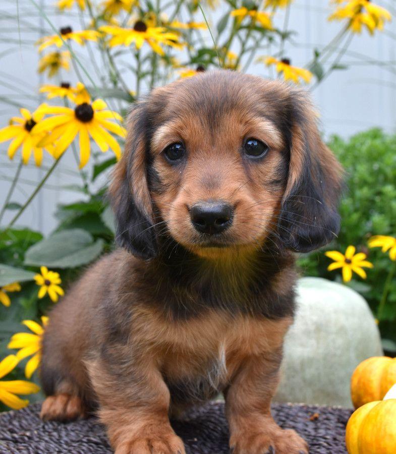 Kindhearted dachshund dog breeder dachshund puppies