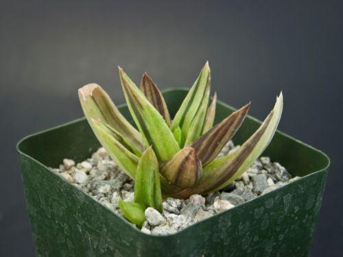 Alworthia cv 'Black Gem' variegated cultivar hybrid succulent Aloe Haworthia G7