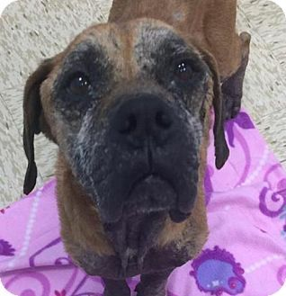 Pictures of Rocky a Mastiff/Boxer Mix for adoption in New