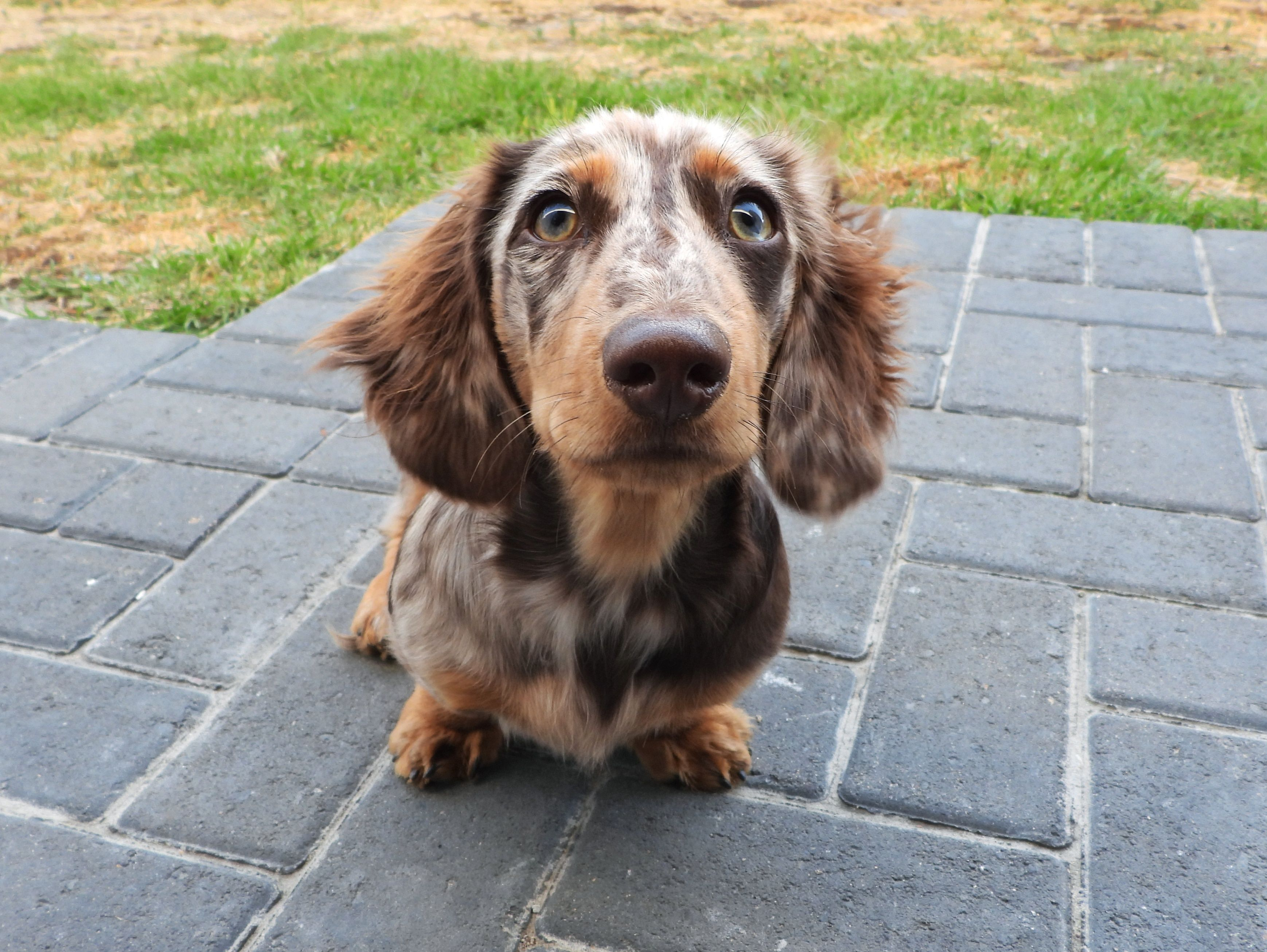 Dappled Long Haired Dachshund Puppy Please Donate Us Hello There