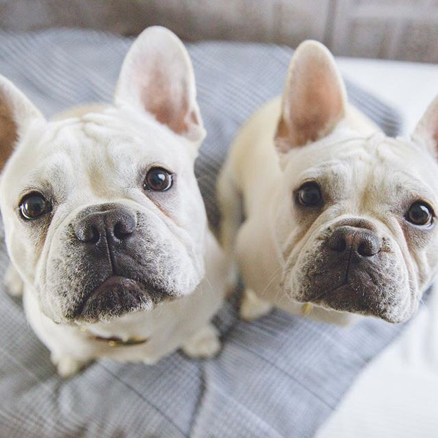 Enzo And Lina French Bulldogs Enzoandlina On Instagram French