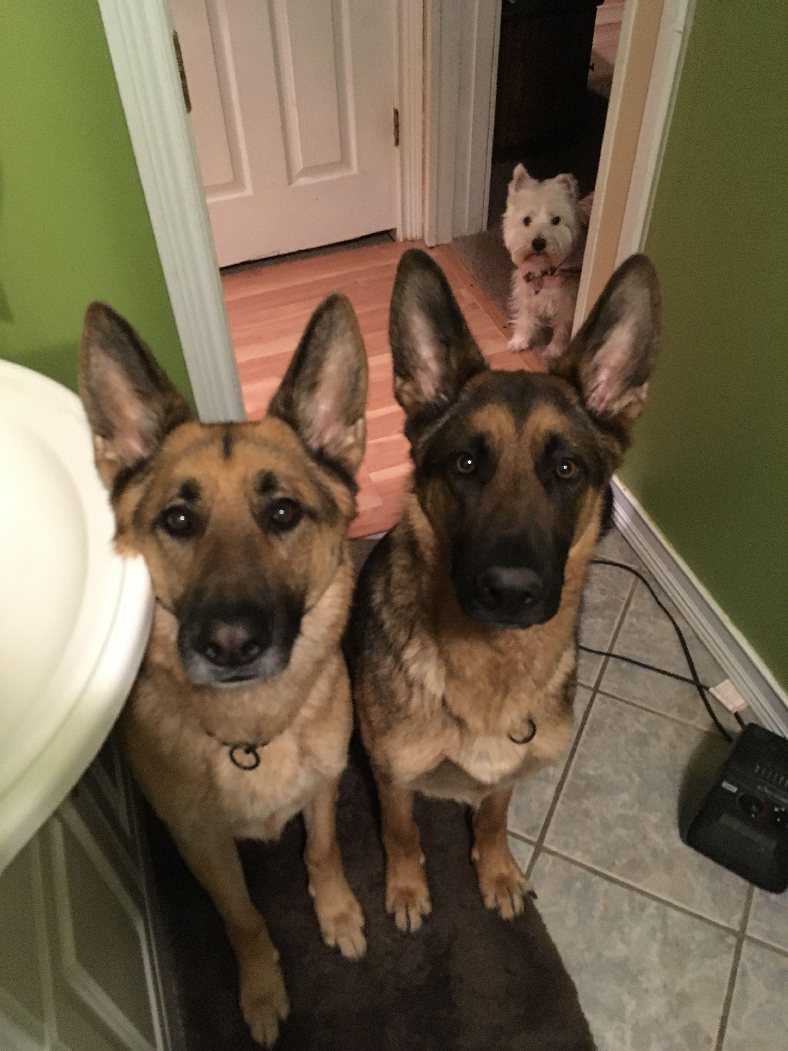 Never Alone In The Bathroom Dogs Corgi Animals