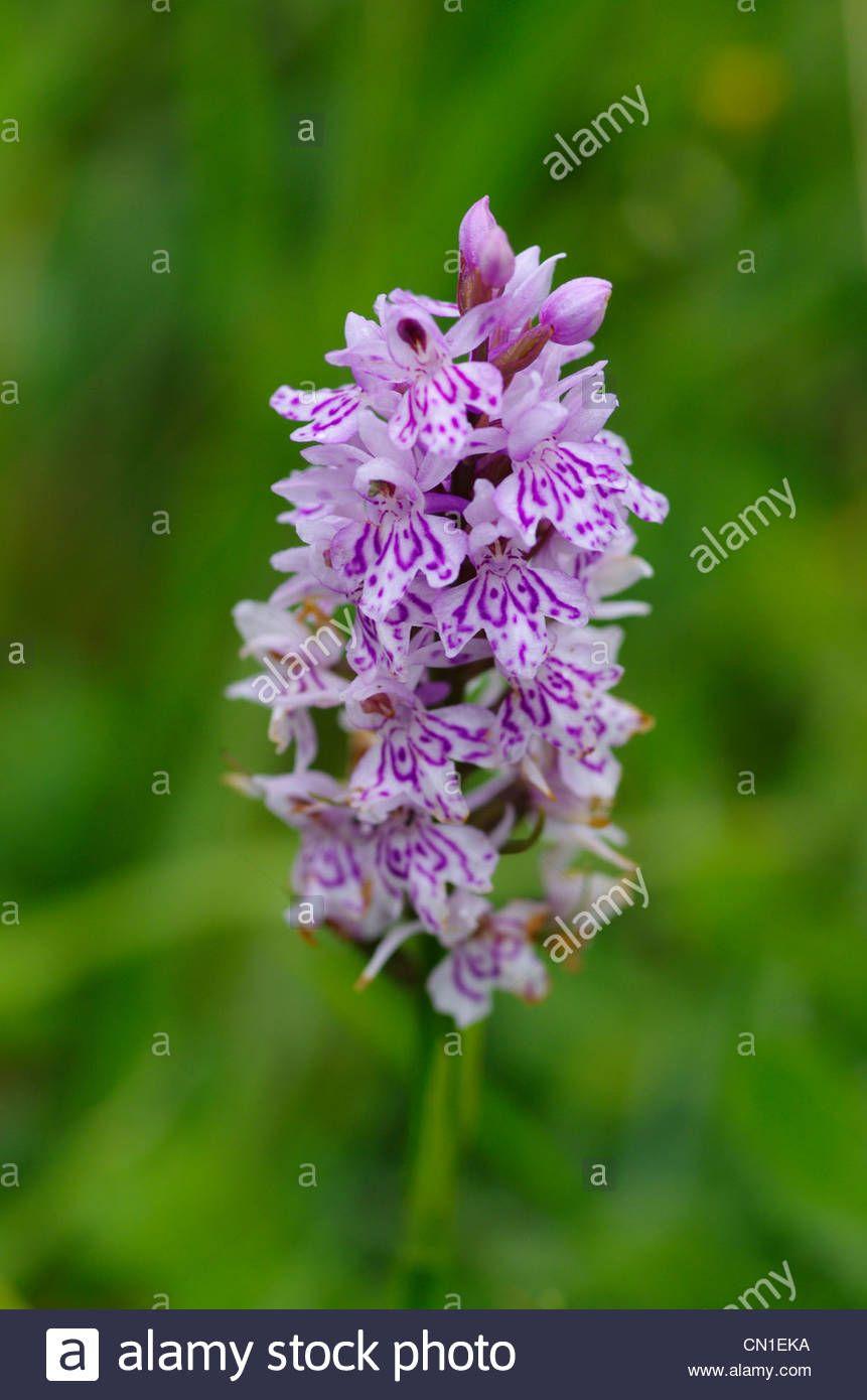 Image result for wild orchids derbyshire