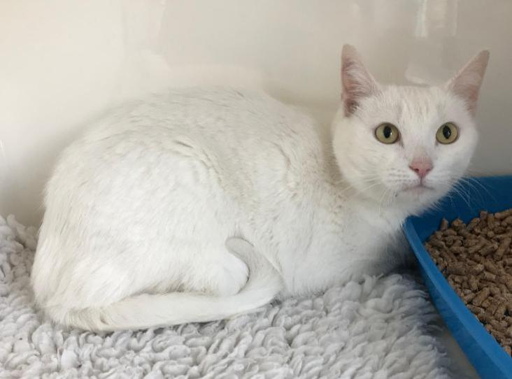 Boo Find A Pet Rspca Org Uk White Cats Pets Cats