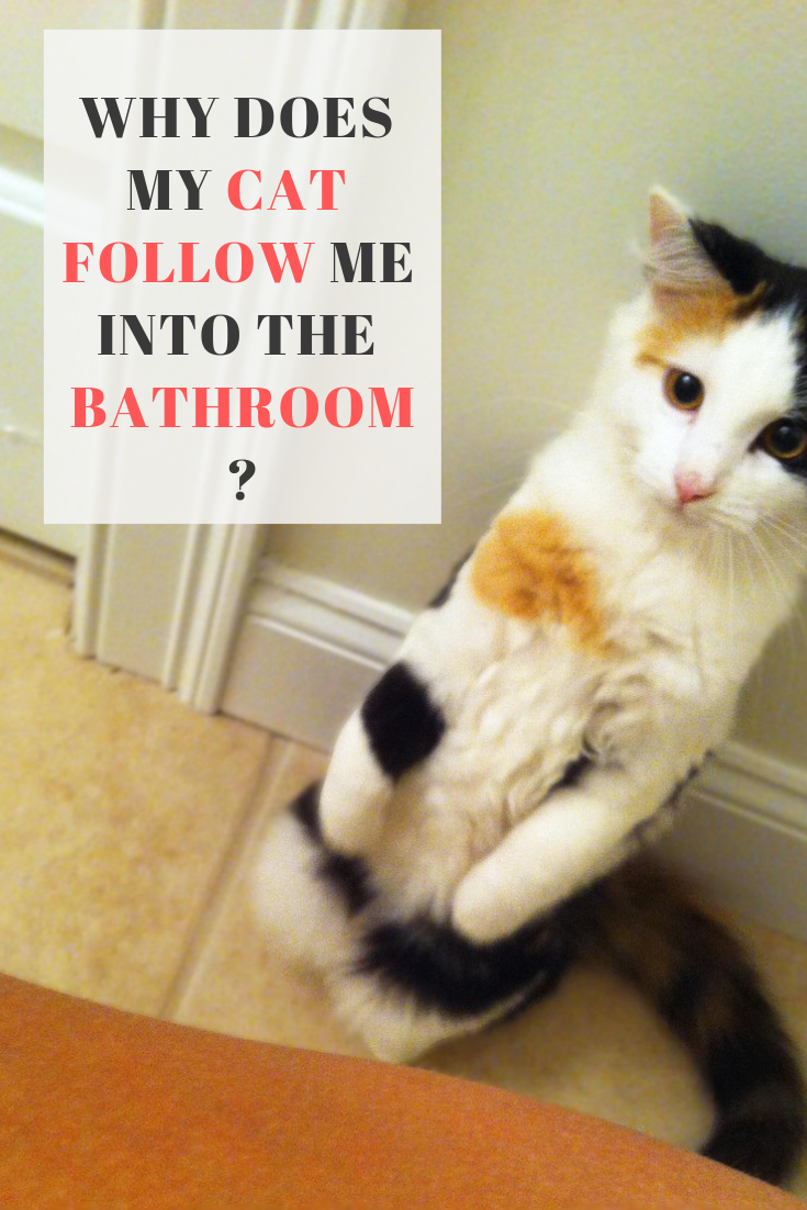 Why Do Cats Follow You Into The Bathroom Cats Follow You Owning A Cat