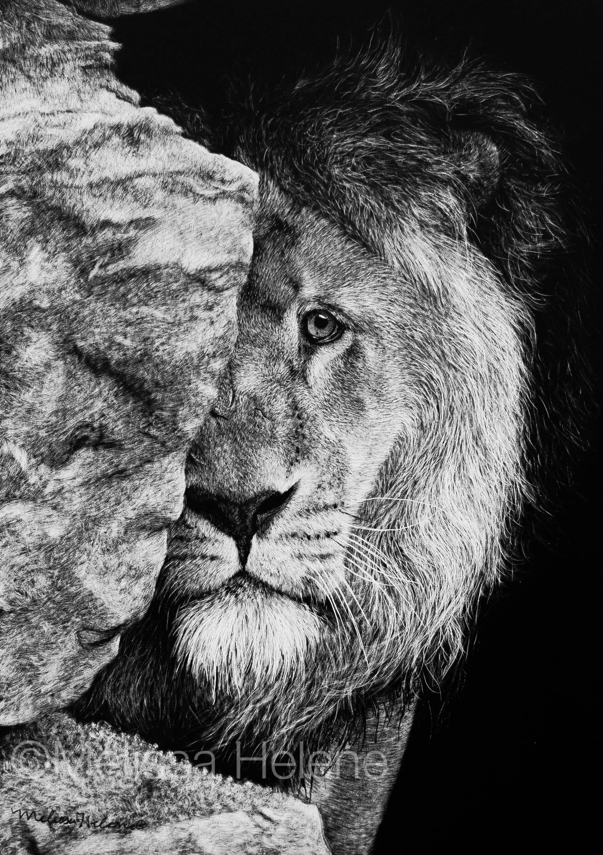 Lion sad face melissa helene fine arts photography www melissahelene com 5x7 scratchboard artwork art wildlife lion blackandwhite