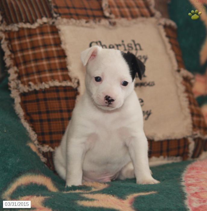 Rat Terrier Puppy For Sale In Pennsylvania Cute Puppies Rat