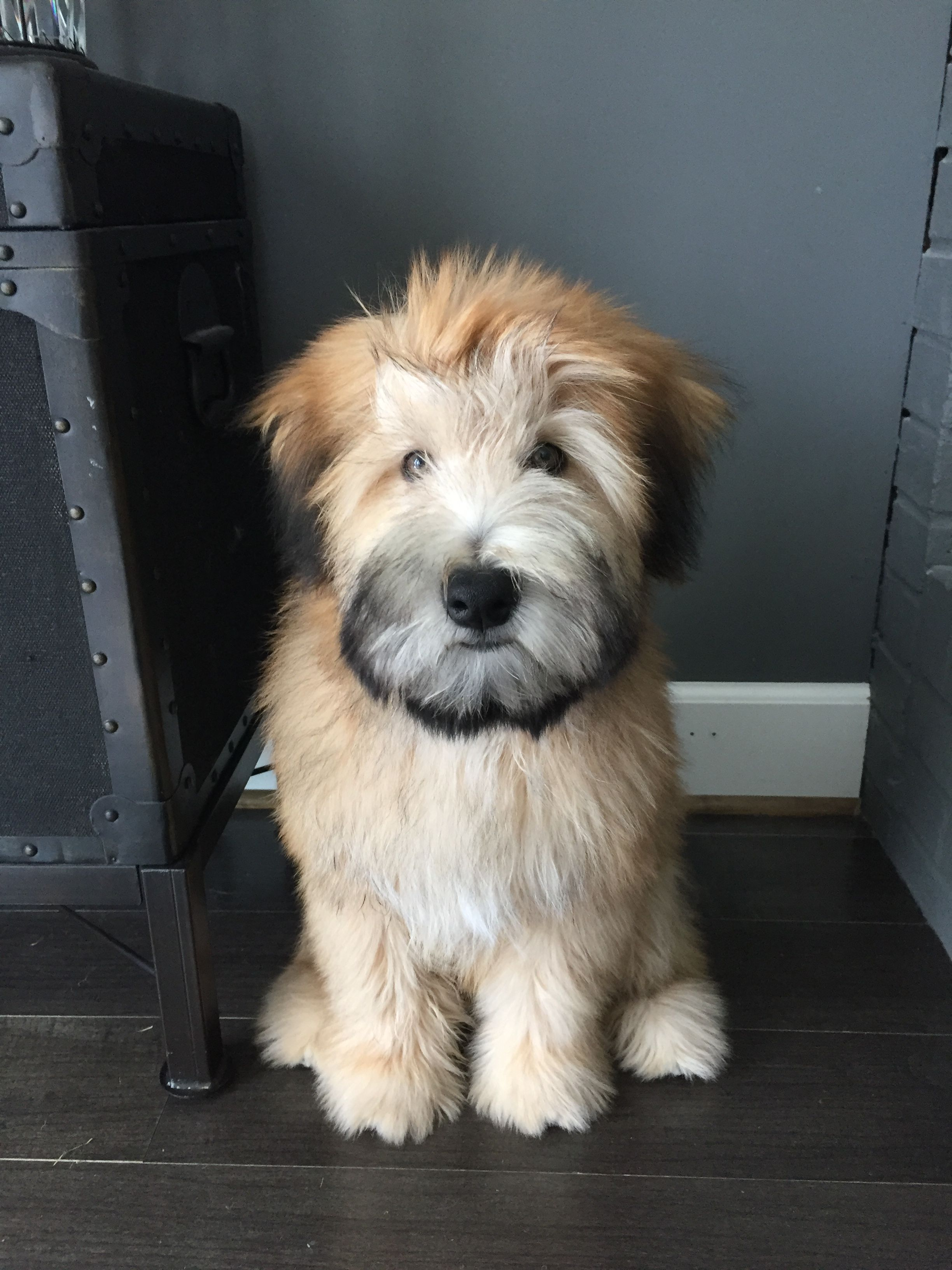 My Fozzie Bear Soft Coated Wheaten Terrier Dogs Soft Coated