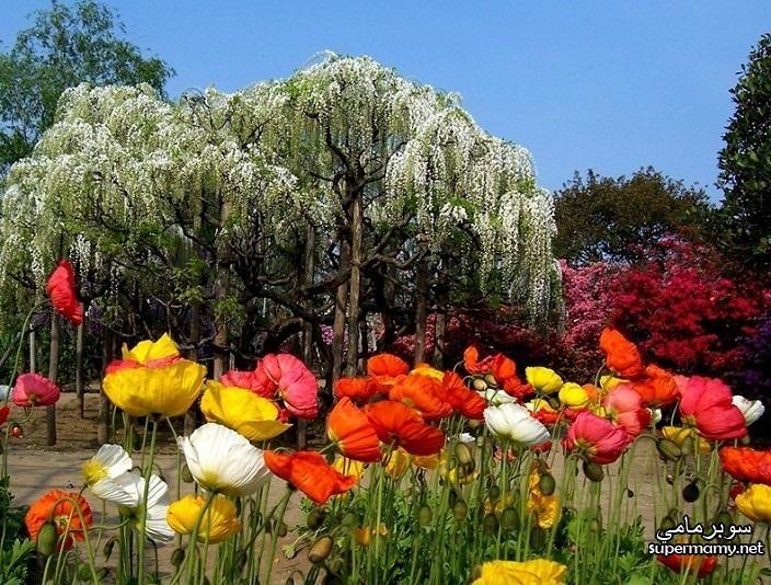 Japan Garden بالصور حديقة اشاكيكا فى اليابان روعة وجمال الطبيعه Trees To Plant Flower Garden Beautiful Flowers