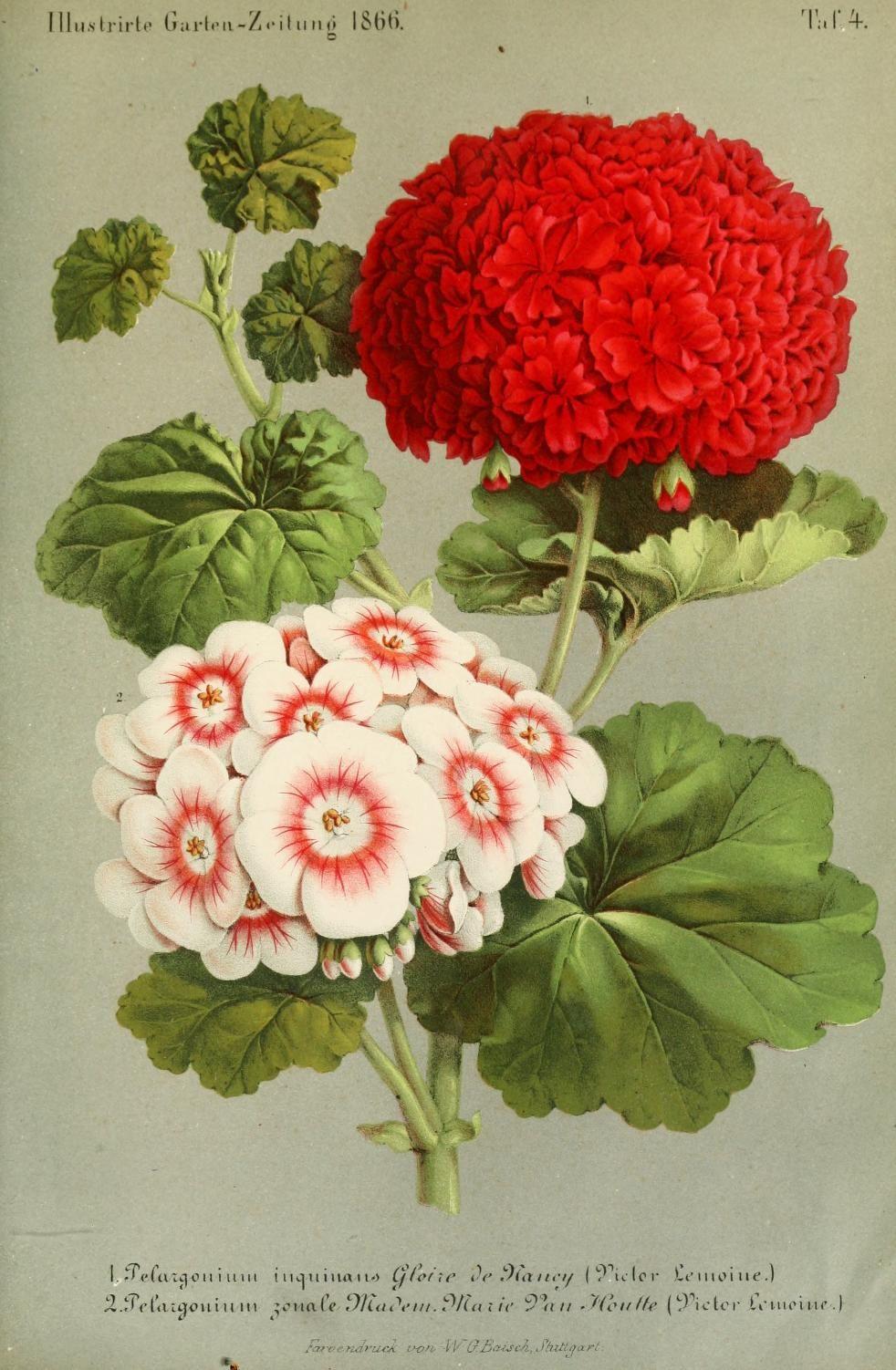 Bd 10 1866 Illustrierte Garten Zeitung Biodiversity Heritage Library Botanical Drawings Vintage Botanical Prints Botanical Illustration