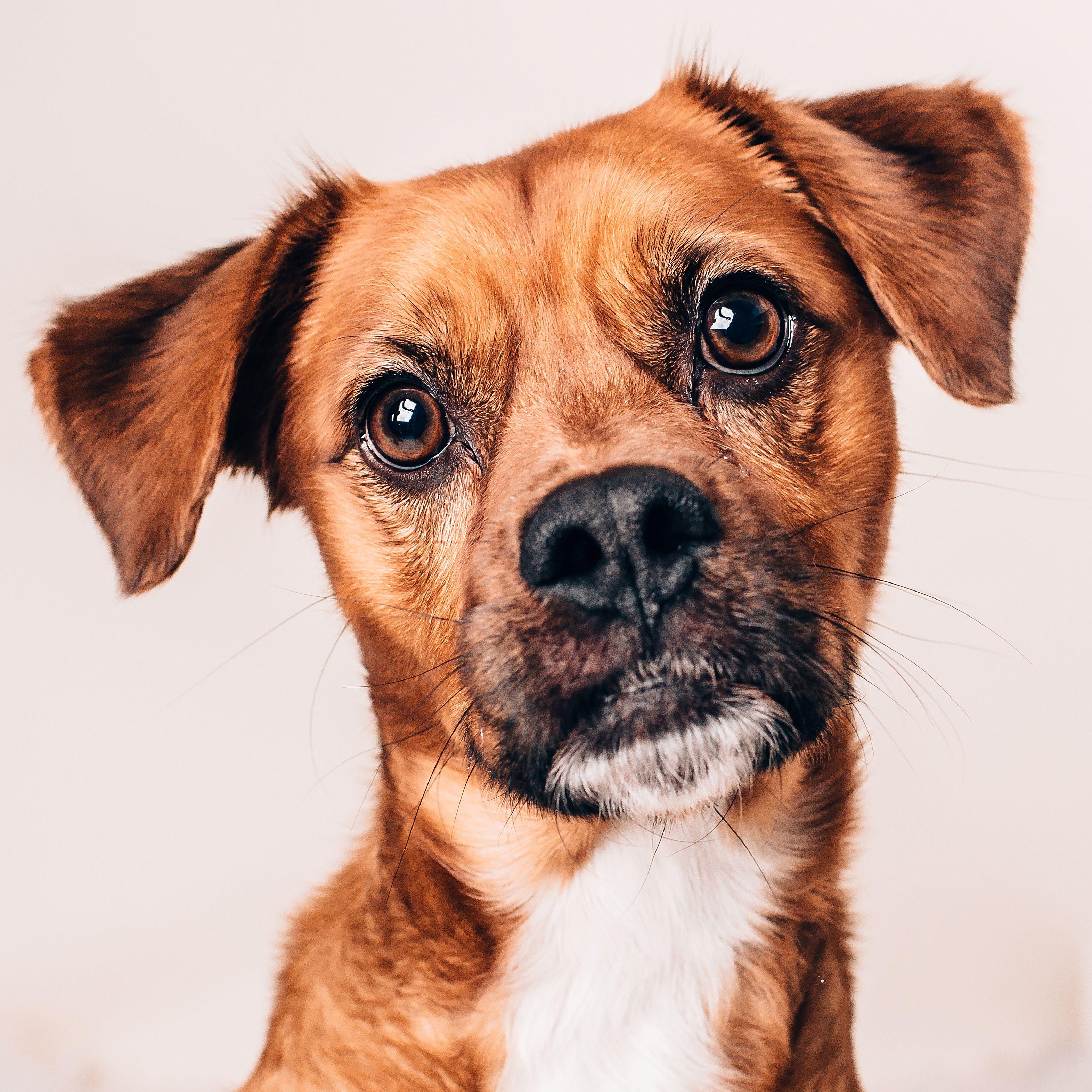 Puggle Dog For Adoption In Huntley Il Adn 781336 On Puppyfinder