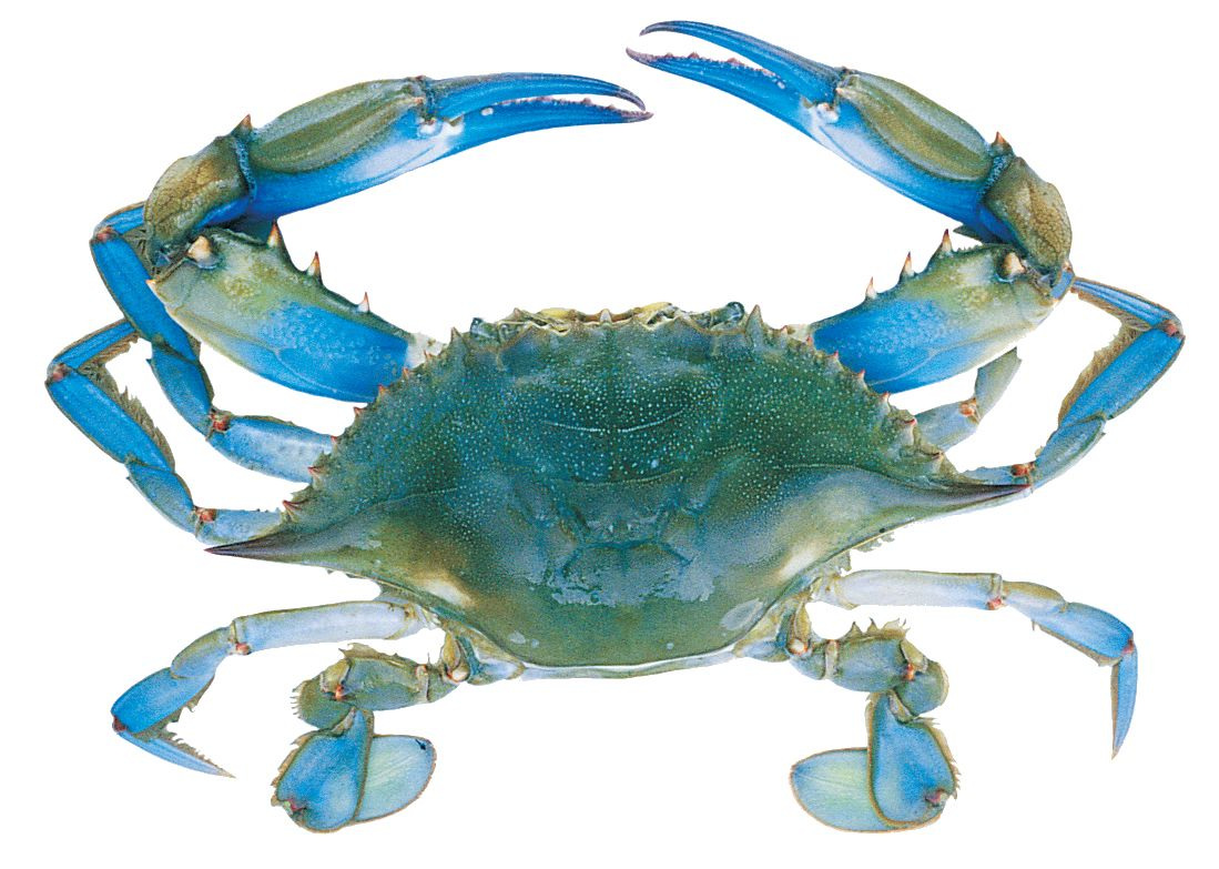 blue crab pictures | Blue Crab Anatomy Guide | Crafts | Pinterest ...