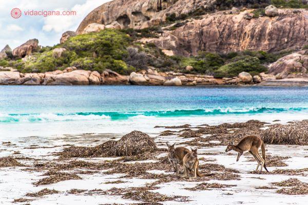 Durante nossa road trip pelo sudoeste da Austrália, por onde passamos por Margaret River, Austrália e Albany, Austrália, visitamos a cidade de Esperance, onde cangurus se banham nas maravilhosas praias da cidade, como esta, em Lucky Bay.