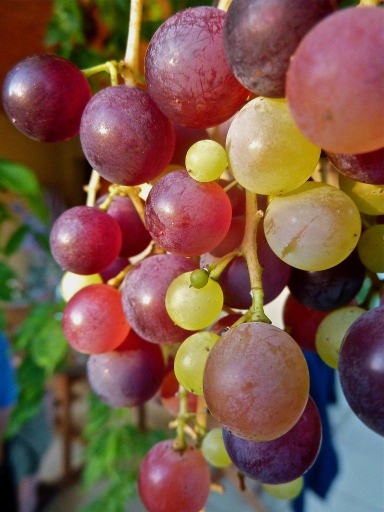 Ripening Grapes In 2020 Grapes Fruit Picture Grape Color