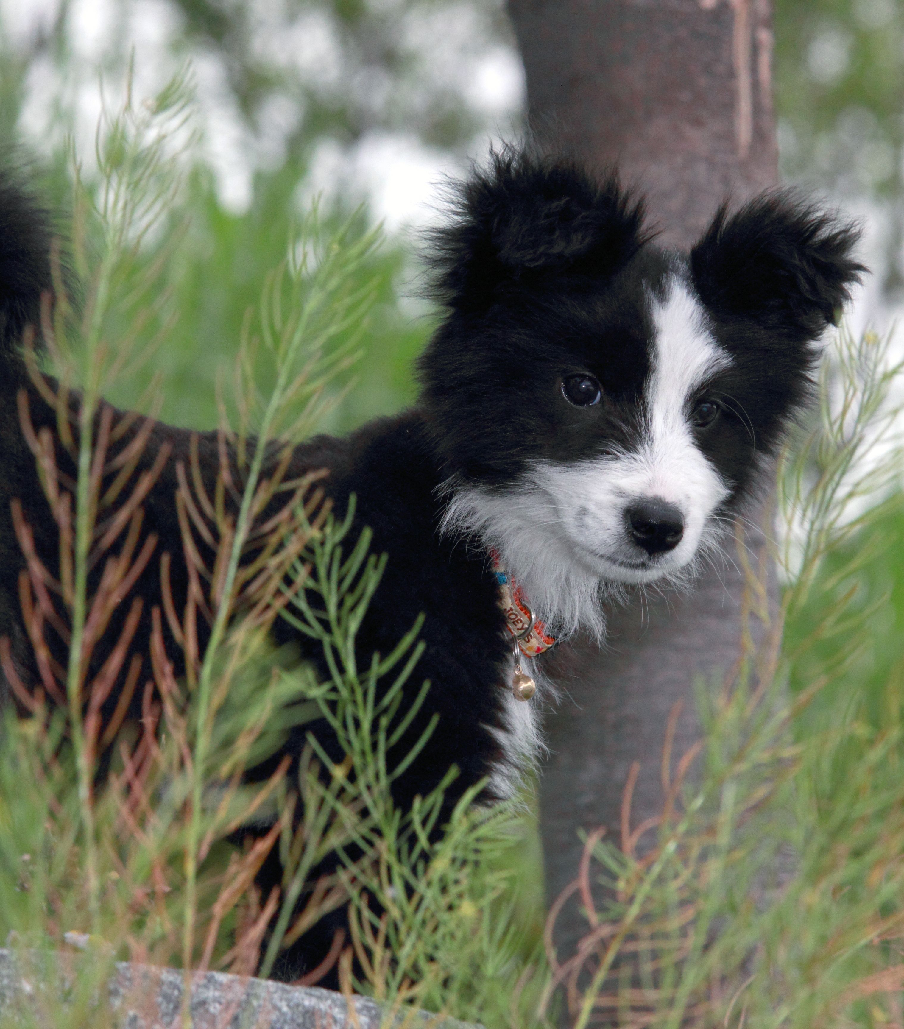 Border collie black and white puppy bordercollie pet