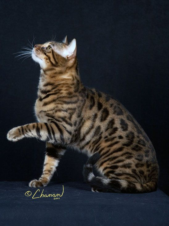 Brown Spotted (Leopard) Bengal