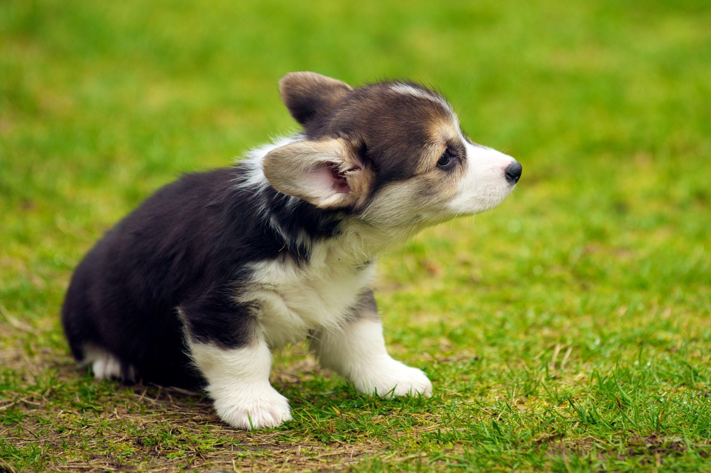 Pembroke Welsh Corgi Pictures Info Reviews Corgi Dog