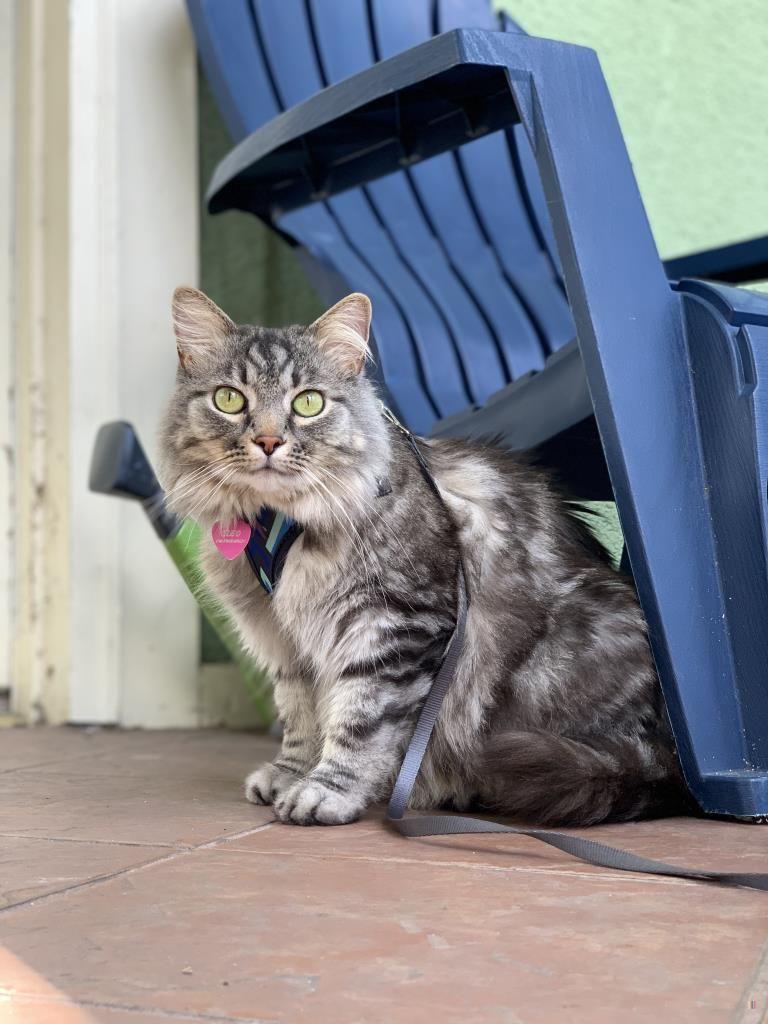 Lost Cat Male New Orleans, LA, USA 70119 Cats