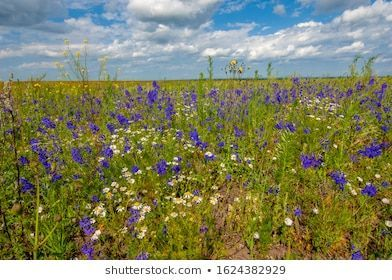 Wildflower Wild Flower Flower That Grows Stock Photo (Edit Now) 1624382929#edit #flower #grows #photo #stock #wild #wildflower