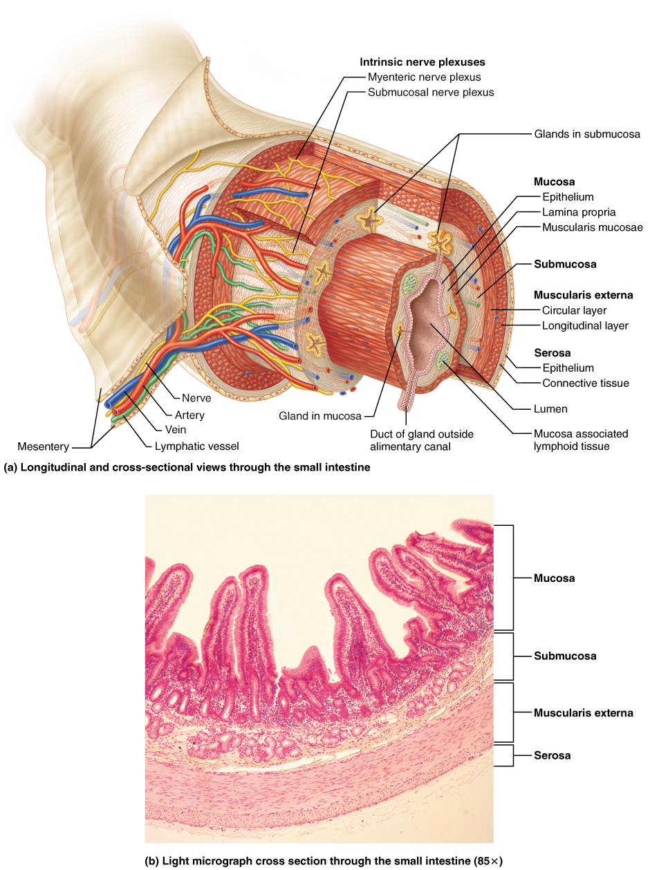 Anatomy of the Alimentary Canal | Anatomy | Pinterest | Anatomy