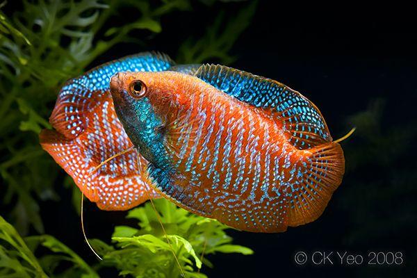 2 Dwarf Gourami Tropical Fish Fresh Water Fish Tank Freshwater Aquarium Fish