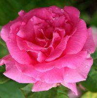 4ae3541cef5f02 Róża Zephirine Drouhin (Bizot 1868) - nagi korzeń Rozarium | róże ...