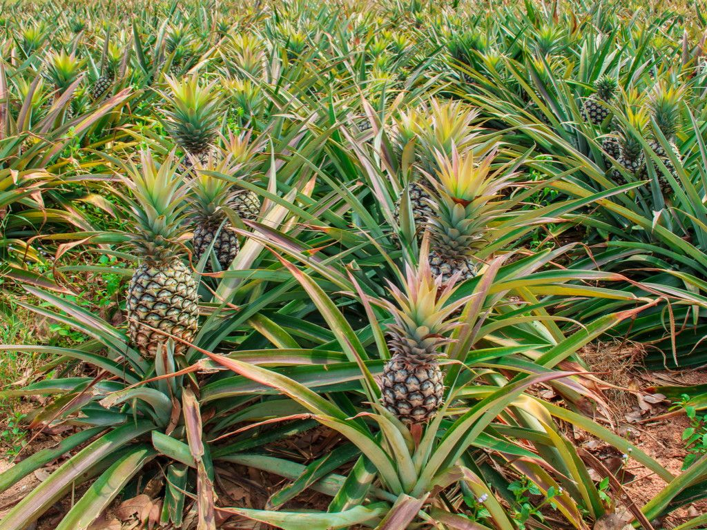 des champs d\'ananas | island life | Pinterest | Island life and Cruises