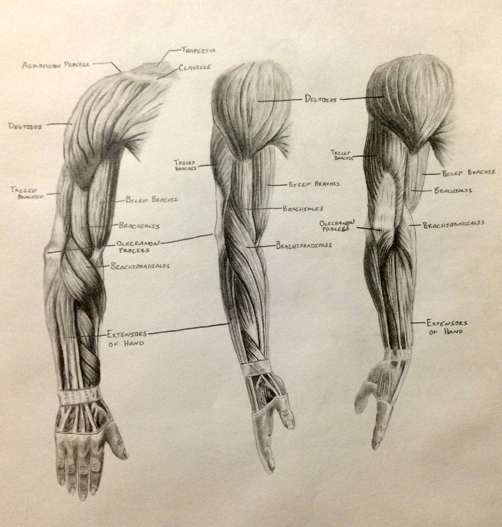 Arm muscle anatomy | 인체 | Pinterest