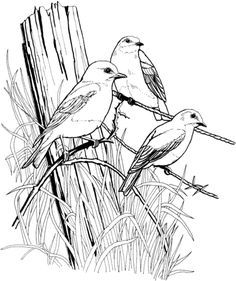 Eastern Blue Birds on Barbed Wire coloring page from