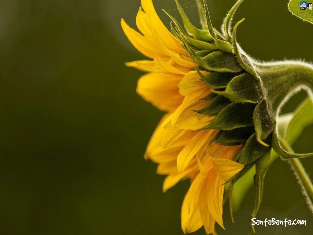 Sunflowers x wallpaper art pinterest sunflowers