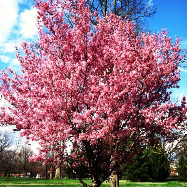 I Like Ohio Redbud Tree In Goodale Park In Columbus Ohio