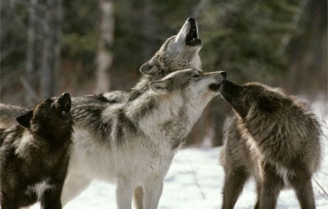 wolf pictures | ... wolf pictured here lives at the international wolf center in ely