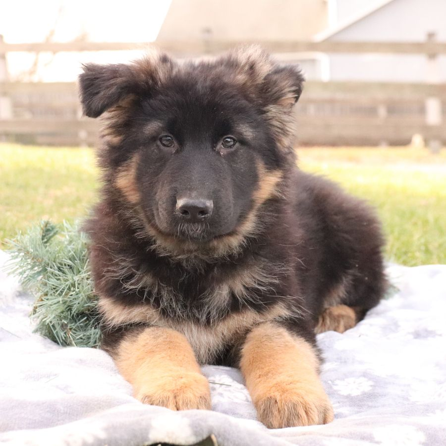 Meet Flora This Sweet And Precious Germanshepherd Puppy She Is Sure To Bring All Your Dreams Ab In 2020 German Shepherd Puppies Puppies Lancaster Puppies