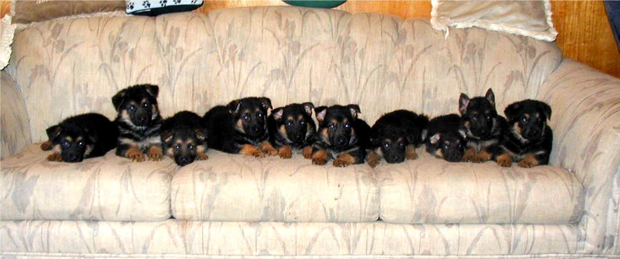 Image Of Newborn German Shepherd Black And Tan Puppies German