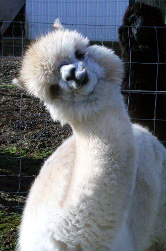 What Did You Say Cute Animals Cute Alpaca Cute Baby Animals